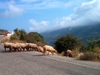 Ovce přes cestu mají přednost