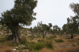 Staré olivovníky